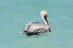 Pelican on water. Wild pelican sitting on Caribbean sea water Stock Photography