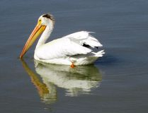 pelican royalty free stock photos