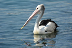 Pelican - Water Birds Royalty Free Stock Photo
