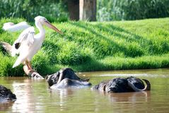 Pelican and Water Buffalo Stock Image