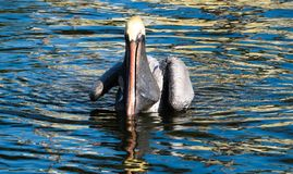 Pelican in the water after catching a fish stock photos