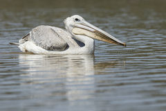 Pelican on Water royalty free stock images