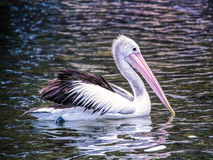 Pelican on water stock photo