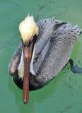Grey Pelican in Water  Royalty Free Stock Image