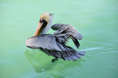 Grey Pelican in Water Taking Flight Stock Image
