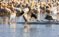 Pelican on the water. Kenya. Stock Images
