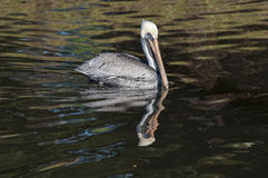 Pelican in the water Stock Images