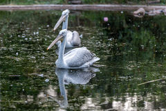 A pelican in the water stock photo