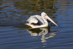 Pelican on the water Royalty Free Stock Image