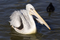 Pelican on the water. One of the largest flying birds, with its distinctive pocket beak. It is primarily a fish feeder, but has been documented to attack Royalty Free Stock Photos