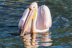 Pelican on the Water Stock Image