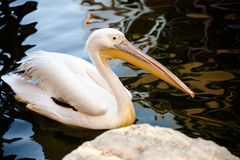 Pelican between water. Pelican property near a stone of a lake Stock Photo