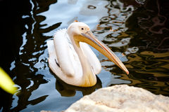 Pelican between water. Pelican property near a stone of a lake Stock Image