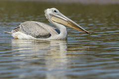 Pelican on water South Africa Stock Photography