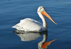 Pelican on water Stock Images