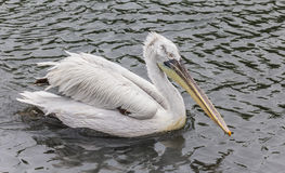 Pelican on the water Stock Photos
