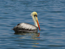 Pelican on the water. In the wild Stock Photo