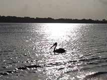 Pelican waters shimmering silver Royalty Free Stock Photo