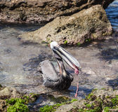 Pelican Royalty Free Stock Photography