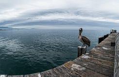 Pelican on the wharf. Brown Pelican, Stearns Wharf, Santa Barbara royalty free stock photography
