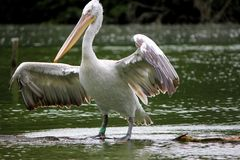 Pelican white and black Royalty Free Stock Images