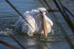 Pelican with white feathers is on the water Royalty Free Stock Photo