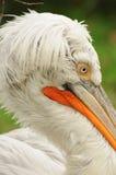 Pelican. White pelican head closeup with orange pecker royalty free stock photo