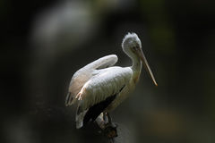Pelican. White pelicans in nature , close up Stock Photos