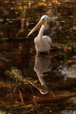 Pelican. White pelican reflection in water Royalty Free Stock Images