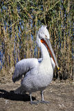 Pelican. A white pelican in a reservation, in Constanta, Romania Royalty Free Stock Photography