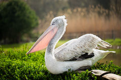 Pelican. White pelican standing on grass. Pelecanus onocrotalus Royalty Free Stock Photography