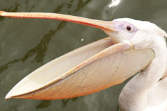 Pelican with wide open beak. A pelican with wide open beak during feeding at zoo Royalty Free Stock Photo