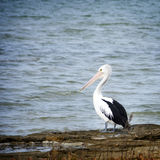 Pelican. In the wild along the Coorong area of South Australia stock photos
