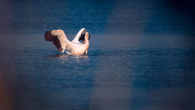 Pelican in the wild Royalty Free Stock Photos