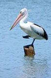 Pelican. A wild pelican in Queensland, Australia Stock Photos