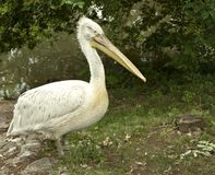 Pelican in wildlife Stock Photography