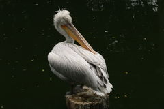 Pelican. Wildlife is so amazing.sometimes is looks unbelievable Stock Photography