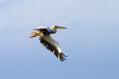 Pelican with wings spread Royalty Free Stock Photography