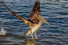 Pelican with wings spread 3. This pelican had an enormous wing span that I was determined to capture Royalty Free Stock Photography