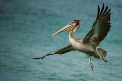 Pelican with wings spread. This pelican used to fly in most mornings in the hopes of catching fish in the shallows Stock Image