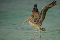 Pelican with wings spread 2. This pelican used to fly in most mornings in the hopes of catching fish in the shallows Stock Images