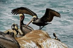 Pelican Wingspan Royalty Free Stock Photography