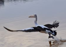 Pelican Wingspan: Taking Flight Royalty Free Stock Images