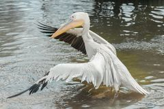 Pelican wingspan in water Stock Image
