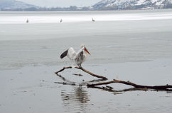 Pelican in winter Stock Photography