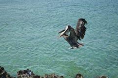 A Pelican's Awkward Landing Stock Image
