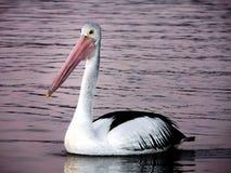 Pelican.(Pelecanus conspicillatus) Stock Images