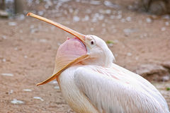 Pelican yawn. White beautiful funny pelican yawn stock photos