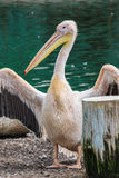 Pelican with yellow beak showing his wings royalty free stock photo