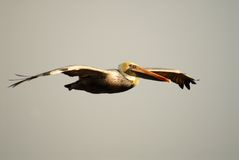 Pelican with yellow head in flight in Pismo Beach California Royalty Free Stock Photography